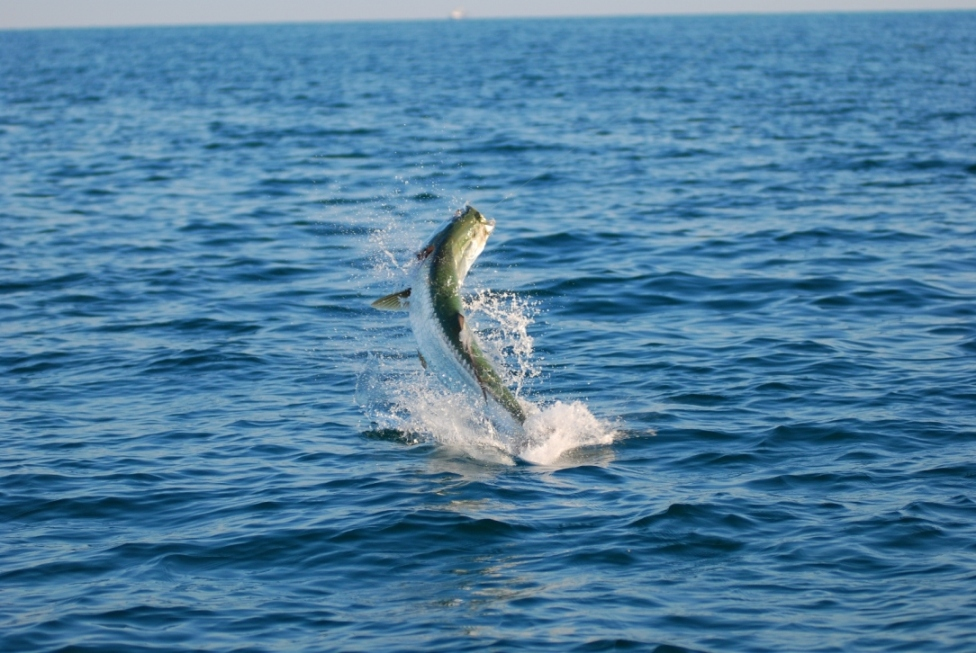 Tarpon-Fishing-Gulf-of-Mexico.JPG